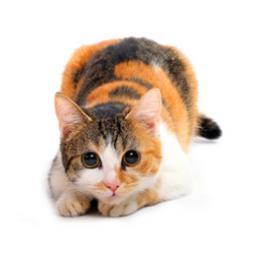 """Результат пошуку зображень за запитом """"кішка"""""""